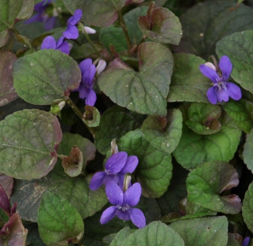 """Another look at this pretty plant - """"Labrador Violet"""" - May 2014. Image: HFN"""