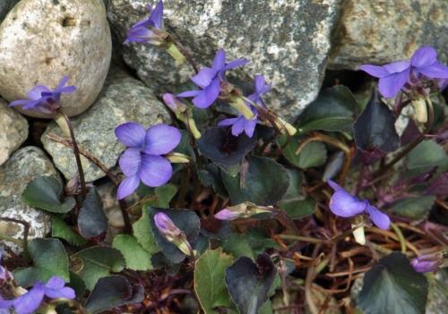 Viola labradorica 'purpurea Van Dusen Garden, Vancouver, B.C. - April 8, 2014. Image: HFN