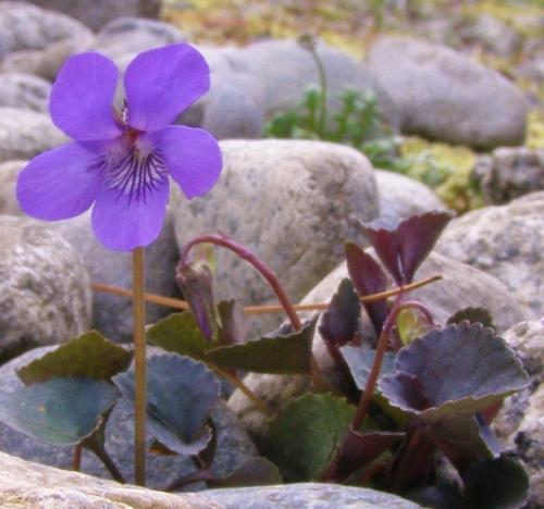 Viola riviniana - Van Dusen Garden, Vancouver, B.C. - June 2011. Image: HFN
