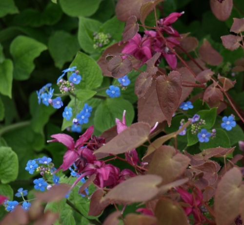 An excellent pairing of Brunnera macrocephalla and a red-leaved Epimidium at the UBC Botanical Garden, April 2014. Image: HFN