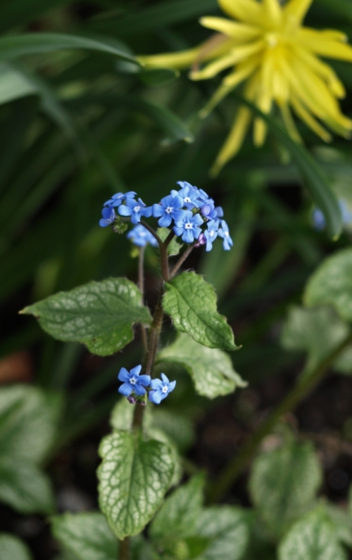 A silvery-variegated cultivar of Brunnera macrophylla pairs up with species daffodils at Van Dusen Garden in Vancouver, B.C. - April 2014. Image: HFN