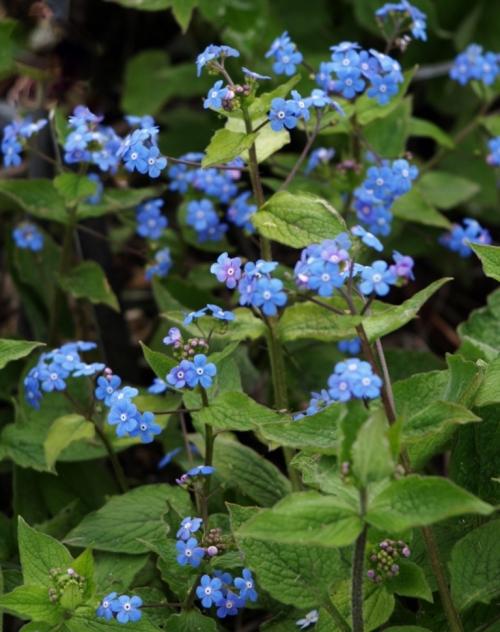 Brunnera macrophylla - Vancouver, B.C. - April 2014. Image: HFN