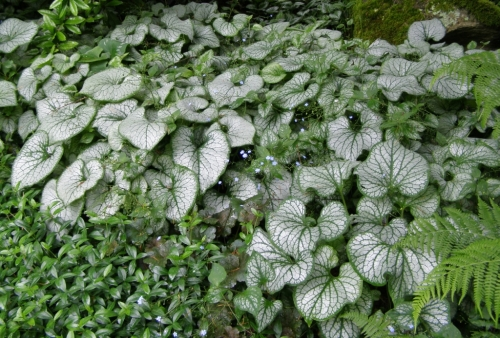 And here is a lovelu planting of a strongly variegated cultivar at the now-closed Minter Gardens in Chilliwack, B.C. - May 2013. Image: HFN
