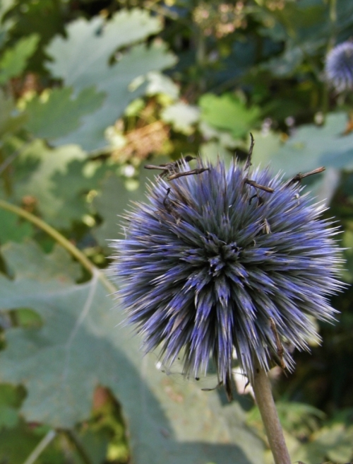 Echinops ritro aging seedhead - still blue, ans still showing its perfectly globular structure - Hill Farm - early October, 2013. Foliage in background is of Plume Poppy, Macleaya cordata. Image: HFN