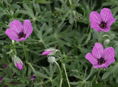Geranium argenteum - Universtity of Northern British Columbia alpine garden, Prince George, B.C., July 2014. Image: HFN