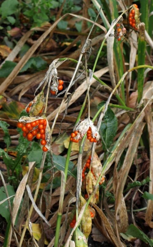 Iris foetissima - October 2014 - Vancouver, B.C. Image: HFN