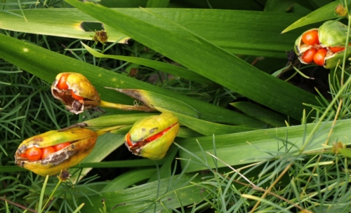 Iris foetidissima - seed pods getting ready to pop. The foliage is frequently described as evergreen, though I noted that most of the specimens at Van Dusen showed foliage which had died completely back. October 2014. Image: HFN