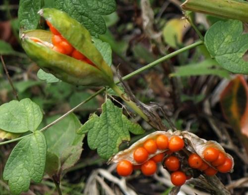 Iris foetidissima - Gladwin Iris - Van Dusen Garden, Vancouver, B.C. - October 2014. Image: HFN