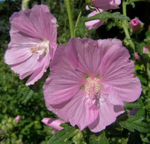 Malva moschata 'rosea' 'Rose Perfection' Musk Mallow - Hill Farm, July 2013. Image: HFN