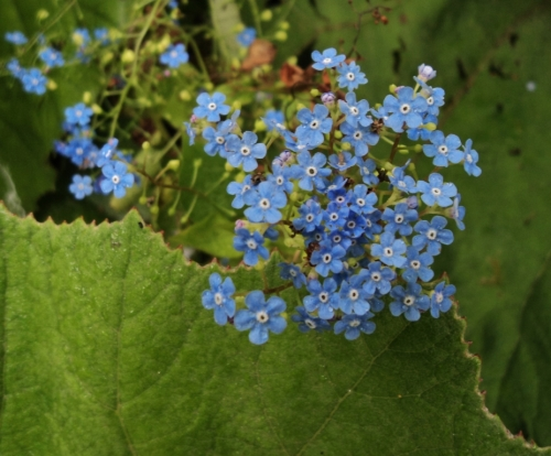 Brunnera macrophylla has a long bloom time. Here it is, getting a bit tired but still lovely, in mid-June, 2011, at Van Dusen Garden in Vancouver, B.C. Image: HFN