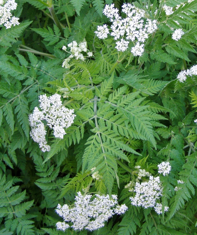 Myrrhis odorata - Sweet Cicely - Hill Farm - June 2013. Image: HFN