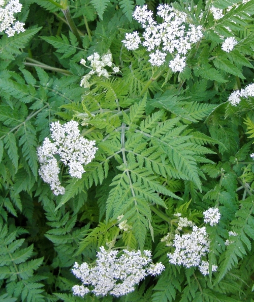 Myrrhis odorata - Sweet Cicely - Hill Farm - June 2013. Image: HFN