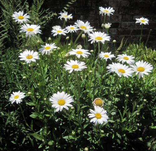 Shasta Daisies at hybridizer Luther Burbank's home in California, now a historic site. Image: