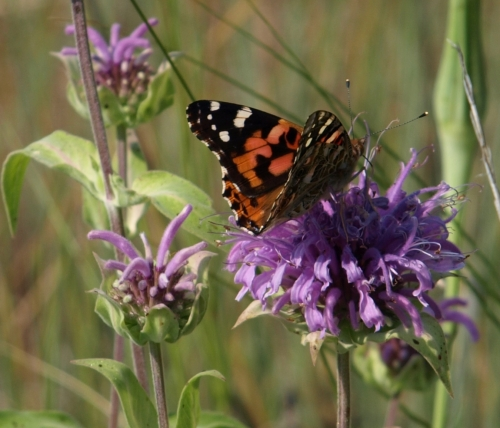 Monarda fistulosa - bee balm with a butterfly visitor - July 2014 - Soda Creek, B.C. Image: HFN