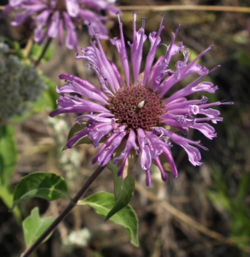 As individual blossoms mature, they drop away, exposing the central crown of the maturing seed head. Image: HFN