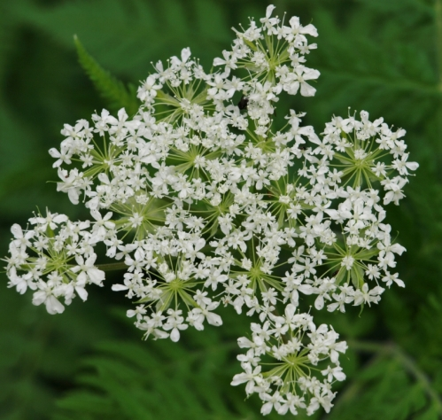 The lacy flowers of Sweet Cicely are highly attractive to pollinating insects of all sorts. Hill Farm, May 2013. Image: HFN