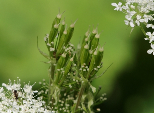Sweet Cicely seed cluster - Hill Farm, May 2014. Image: HFN