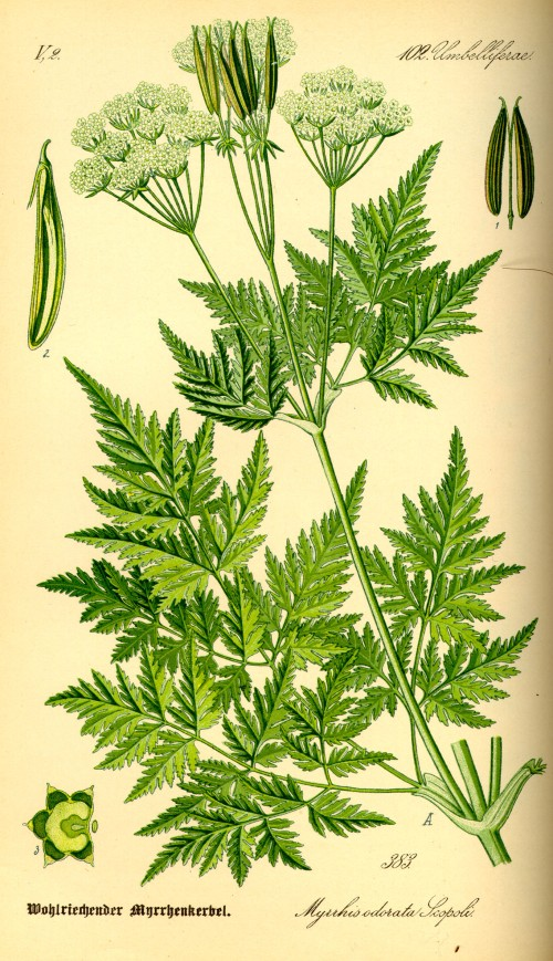 Myrrhis odorata old herbal illustration