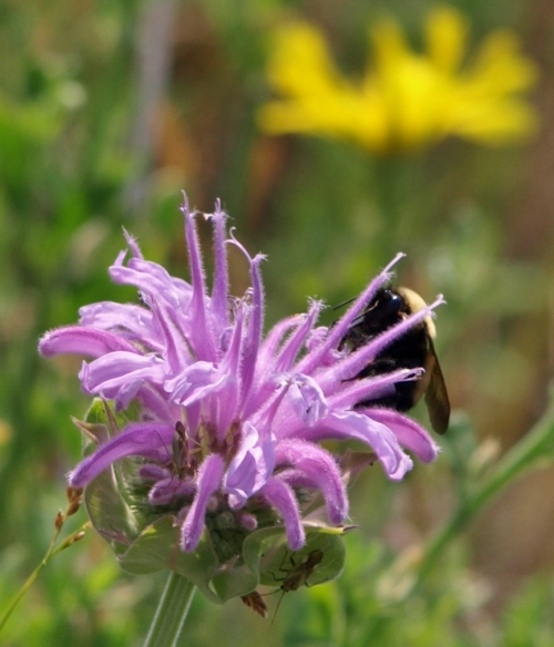 Monarda fistulosa - Lilac Bee Balm - July 2014 - Soda Creek, B.C. I see at least three insect visitors - these plants were a-buzz with nectar gatherers. Image: HFN