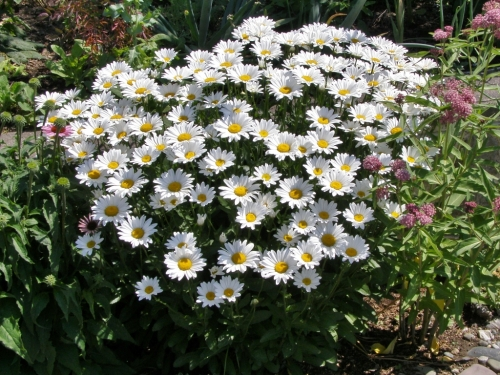 A handsome clump of Shasta daisies in a sunny front yard garden, Williams Lake, B.C., July 2014. Image: HFN