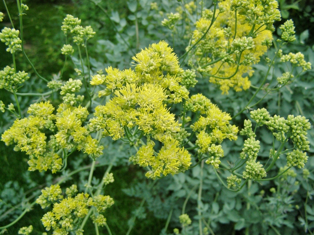 Thalictrum flavum ssp. glaucum. Pale Yellow Meadow-Rue. Fill Farm, July 15, 2011. Image: HFN