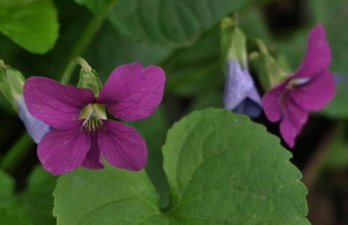 Viola sororia 'Magenta Red Emperor' May 2014. Image: HFN