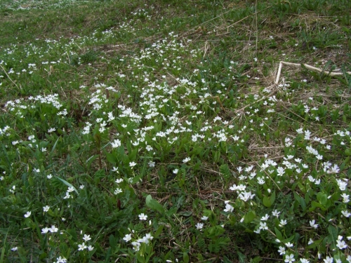 Claytonia lanceolata in a wet meadow, near WElls, B.C. May 20, 2015. Image: HFN