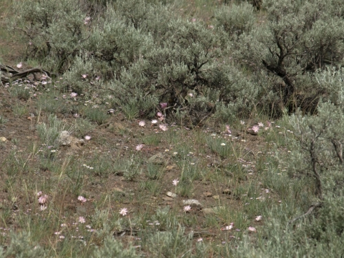 Lewisia rediviva growing in great abundance on cattle-grazed rangeland, west of Ashcroft, B.C., May 2014. Image: HFN