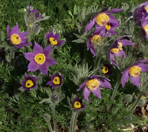 Pulsatilla vulgaris - Pasque Flower. Image: HFN