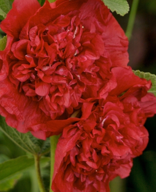 Hollyhock (Alcea) Chater's Dble Scarlet